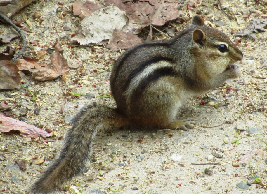 KILLER CHIPMUNKS OF THE NORTH COUNTRY.