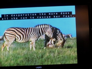 Mad at the mother, kill the kid, who knew zebras could behave so much like humans.