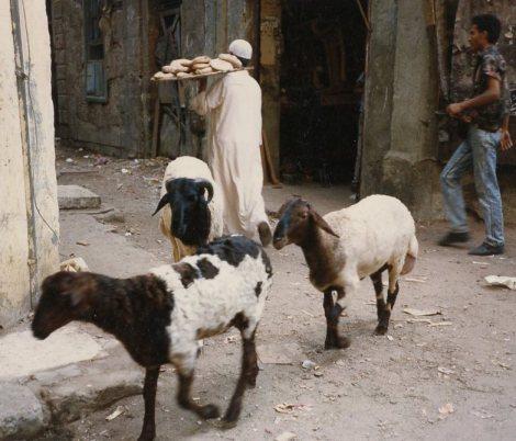 EGYPT goats 1989
