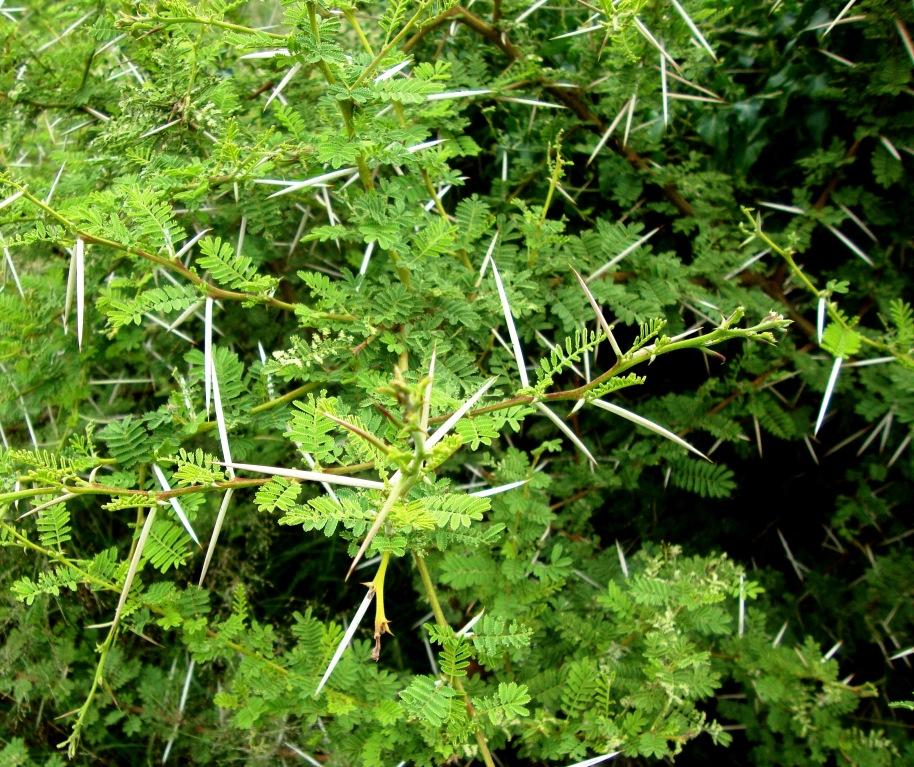 STRANGE BOTSWANA PLANT.