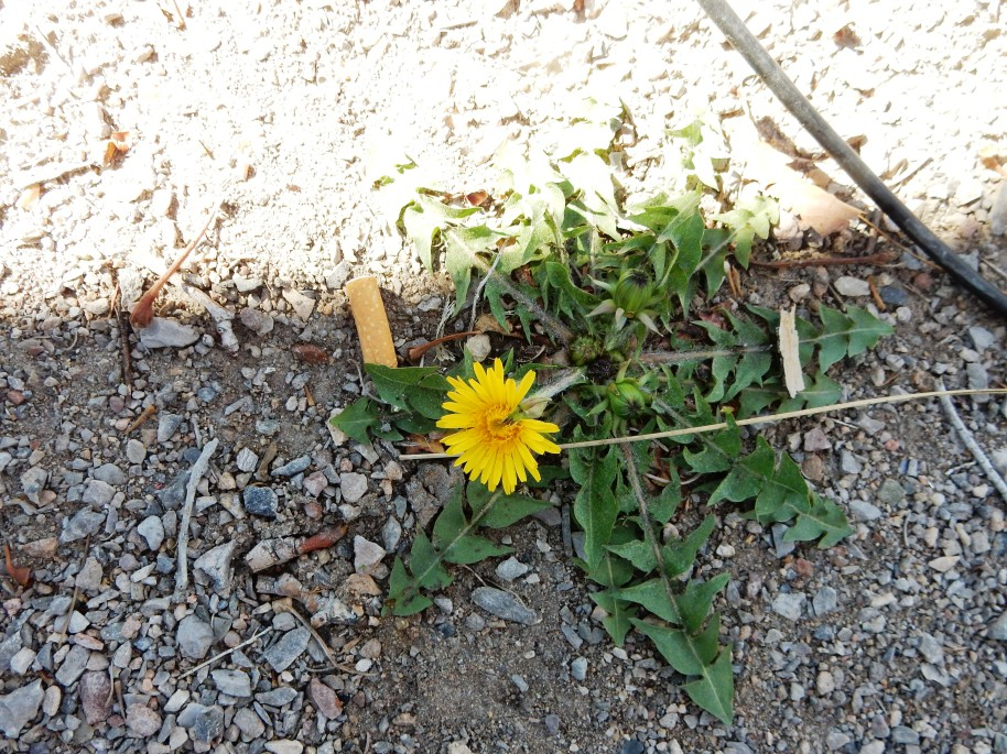 Well, it is color in otherwise drab surroundings. One poor scraggly dandelion.