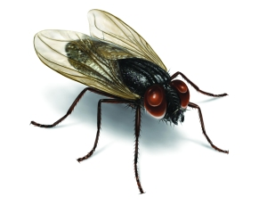 house-fly-illustration_2550x2037